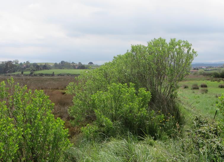 La chilca o bacaris es una planta invasora procedente de Norte América
