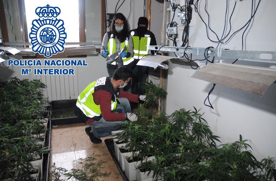 Desmanteladas tres plantaciones de marihuana en cicero y treto noticias de cantabria en - Plantaciones de marihuana interior ...