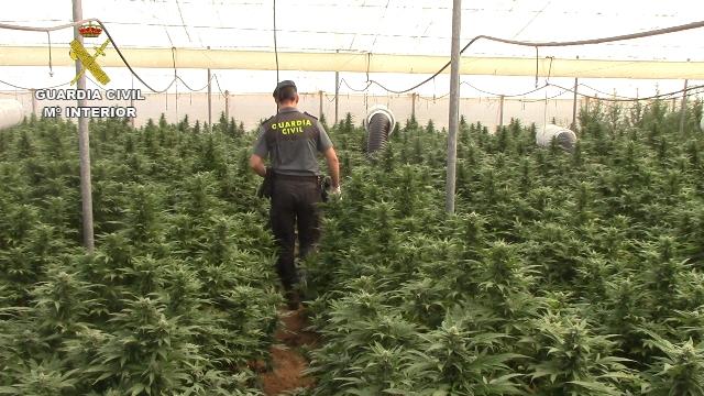 La Guardia Civil interviene en Cádiz más de 8.000 plantas de marihuana y detiene a 9 personas