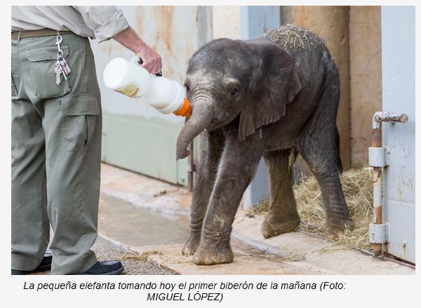 Nace en Cabárceno el segundo elefante africano en menos de un mes - Foto: Gobierno de Cantabria, Miguel López