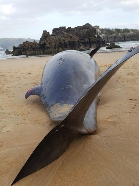 Aparece muerto un cetáceo de más de cinco metros en la playa de Ris