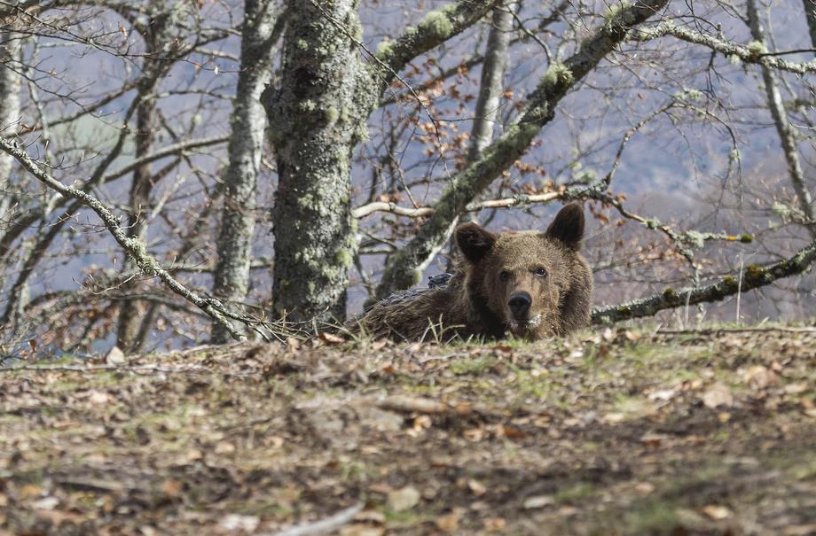 El oso Beato es devuelto a su medio natural en Liébana con un localizador para seguir su adaptación - Foto de Miguel López, proporcionada por el Gobierno de Cantabria