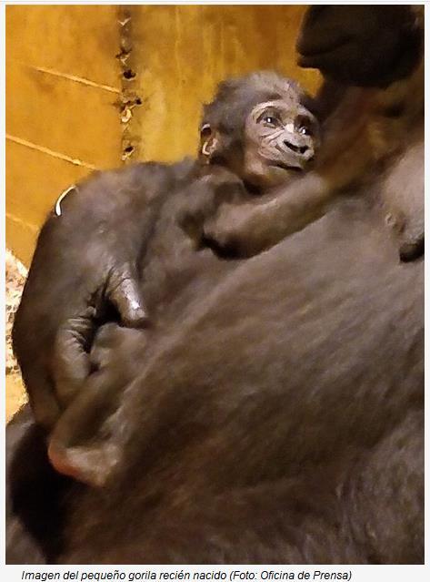 Nace en Cabárceno un nuevo ejemplar de gorila