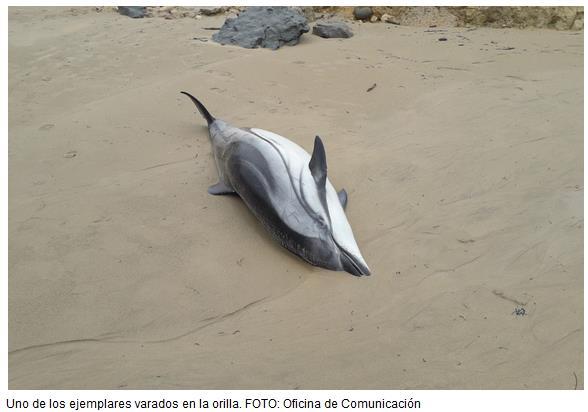 Aparecen catorce delfines muertos en la playa de Oyambre
