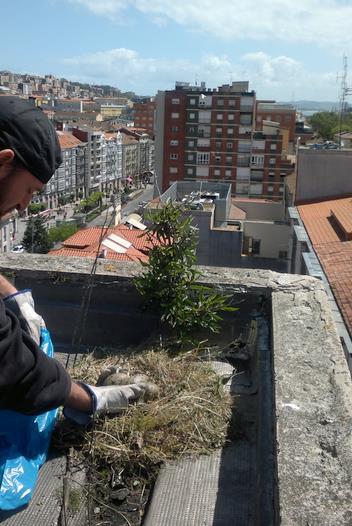 Santander pone en marcha una nueva campaña de control de la población de gaviotas