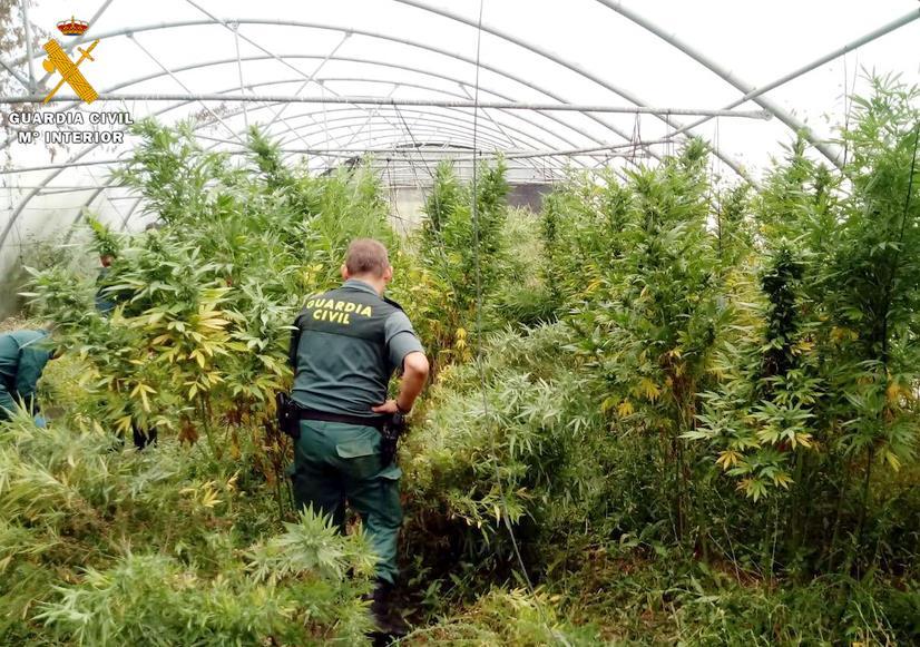 La Guardia Civil localiza un invernadero con marihuana dentro de una explotación tomatera