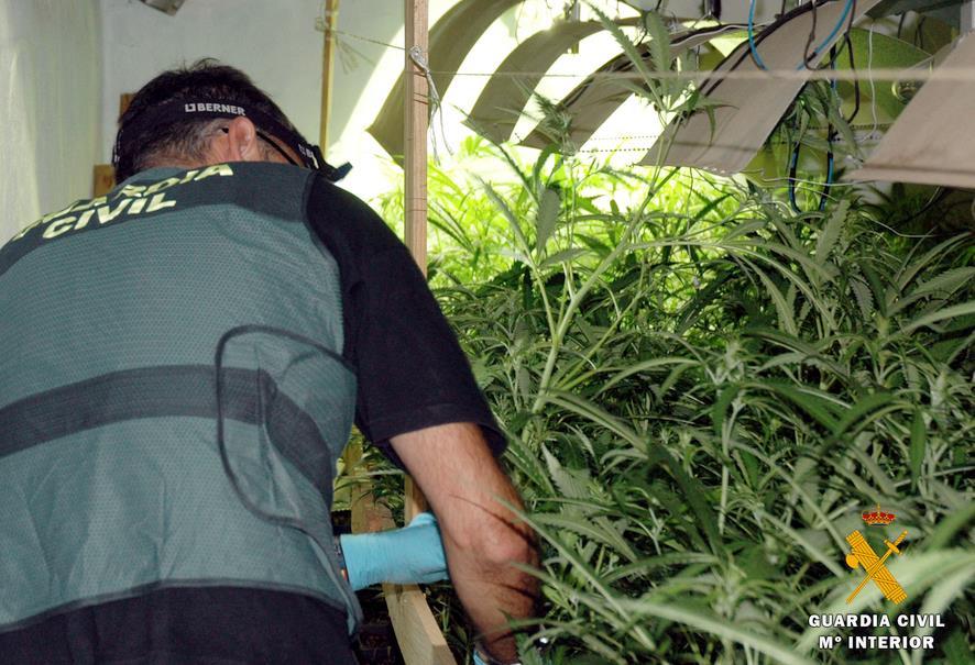 La Guardia Civil interviene más de 2.500 platas de marihuana en los últimos días en Cantabria