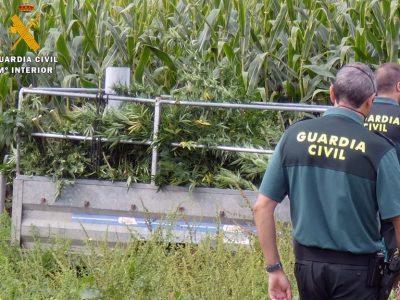 Intervenidas más de 800 plantas de marihuana ocultas tras un maizal en Vispieres