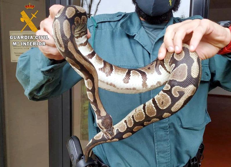 Capturada una serpiente pitón que se había introducido en el jardín de una vivienda de Castañeda