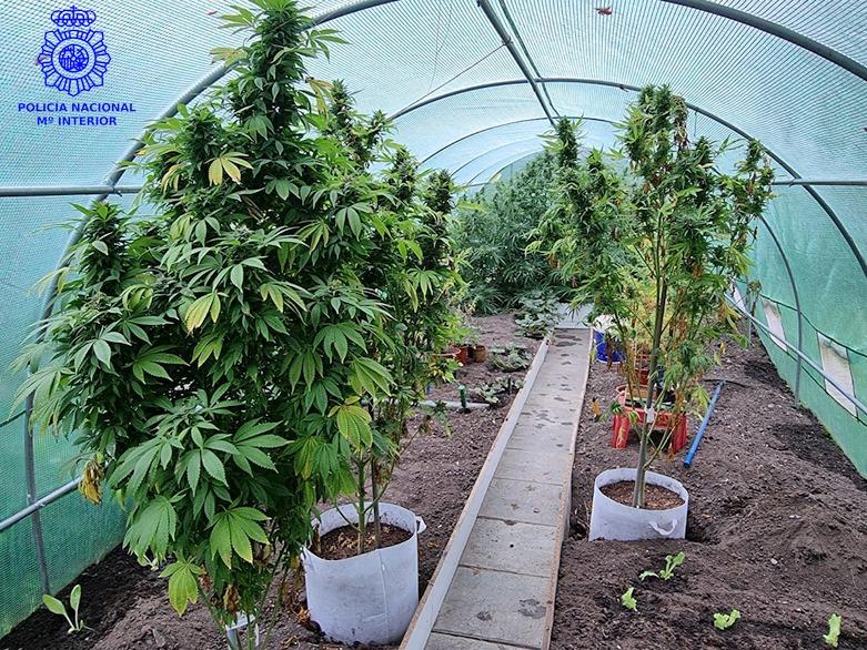 Desmantelada una sofisticada plantación de marihuana en San Román
